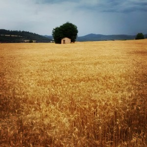 camp blat groc